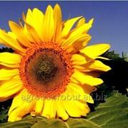 Семена подсолнечника X4334 фото