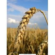 Семена озимой пшеницы Пошана оптом Украина