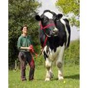 Получение и реализация семени сельскохозяйственных животных фото