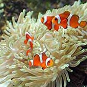 Актинии Amphiprion ocellaris фото