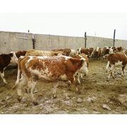 Закуп КРС живым весом мясомолочного и молочного направления (телки нетели) для разведения фото