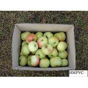 Яблоки поздних сортов фото