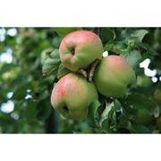 Яблоки на переработку фото