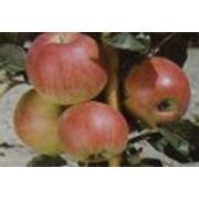 Яблоки Целеста фото