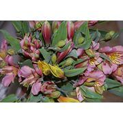 Цветы срезанные Альстремерия фото
