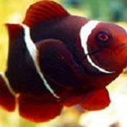 Рыба Клоун Биокулеатус фото