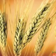 Пшеница 1 класса фото