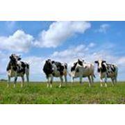Продукты для Крупного рогатого скота фото