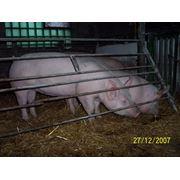 Свиньи племенные пород Канадский Ландрас и Йоркшир фото