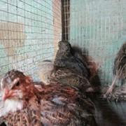 Перепелиные яйца птенцы и Тушки фото