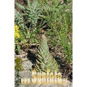 Горные растения фото фото