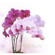Фотообои Розовая орхидея фото