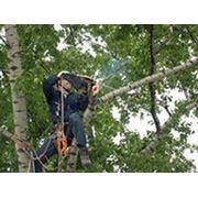 Кронирование, спиливание, валка деревьев. фото