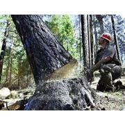 Валка ,спил деревьев фото