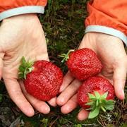 Выращивание клубники в Молдове фото