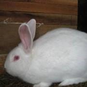 Кролики породы паннон фото