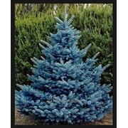 Picea pungens (ель колючая) 'Schovenhorst' фото