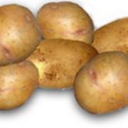 Жуковский ранний картофель фото