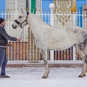 Лошади Орловской породы фото