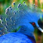 Голуби венценосные из питомника фото