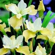 Ландшафтное растение Ирис Вайсс фото