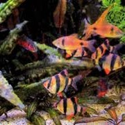 Рыбка барбус фото