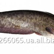 Сом мраморный клариевый живая эко рыба (clariasgariepinus) фото