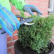 Обрезка, уход, стрижка хвойных деревьев, растений, кустарников от Садового центра ГринМарт. фото