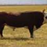 Выращивание бычков казахской белоголовой породы фото