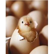 Цыплята суточные в Молдове фото