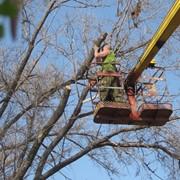 Удаление аварийных деревьев в Алматы фото