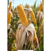 Кукуруза посевная, опт фото
