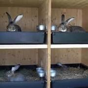 Выращивание кролей фото