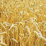 Зерновые и масличные культуры фото