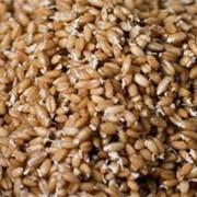 Семена пшеницы фото