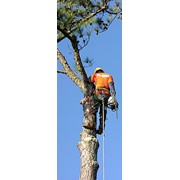 Коронирование деревьев фото