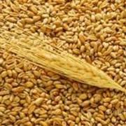 Пшеница луговая фото