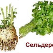 """Моновкус - """"Сельдерей"""" фото"""