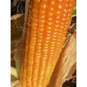 Кукуруза гибридная MTI 230 фото