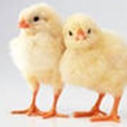 Цыплята мясояичные фото