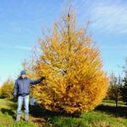 Продажа деревьев фото