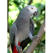 Серый попугай фото