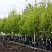 Саженцы деревьев в алматы фото