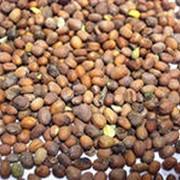 Редька масличная семена фото