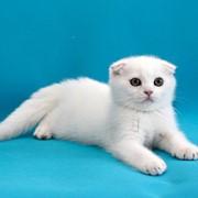 Вислоухие шотландские котята фото
