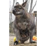 Продам ручных карликовых кенгуру Беннета разного пола фото