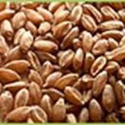 Масло пшеничных зародышей, 100 мл фото