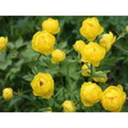 Луковичные  корневищные цветы фото