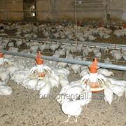 Добавка кормовая ветеринарная для племенной и яйценоской птицы Лактобифадол фото