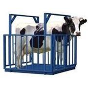 Весы платформенные ДОН-СВ(Ж) для взвешивания животных. фото